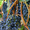 Okanagan Grapes